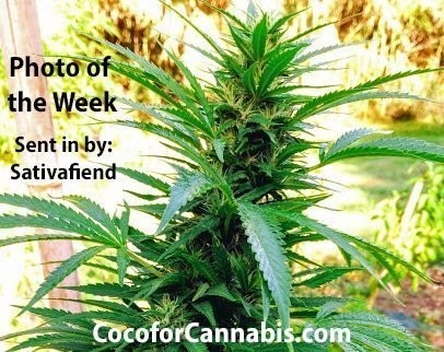 Coco for Cannabis week 11 Photo of the Week