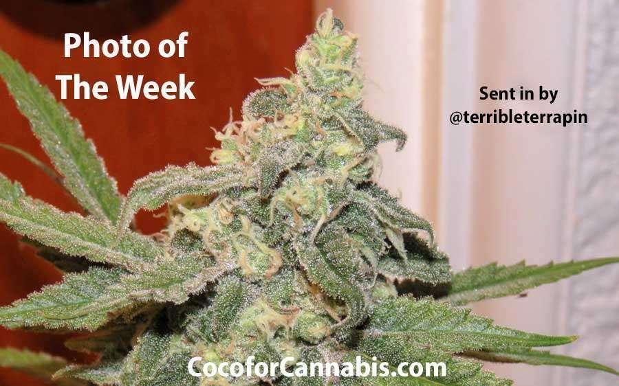 G13 x Widow Cannabis Photo of the Week