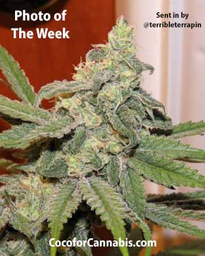 G13 x Widow Cannabis Photo of the Week