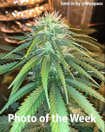 Coco for Cannabis Photo of the week