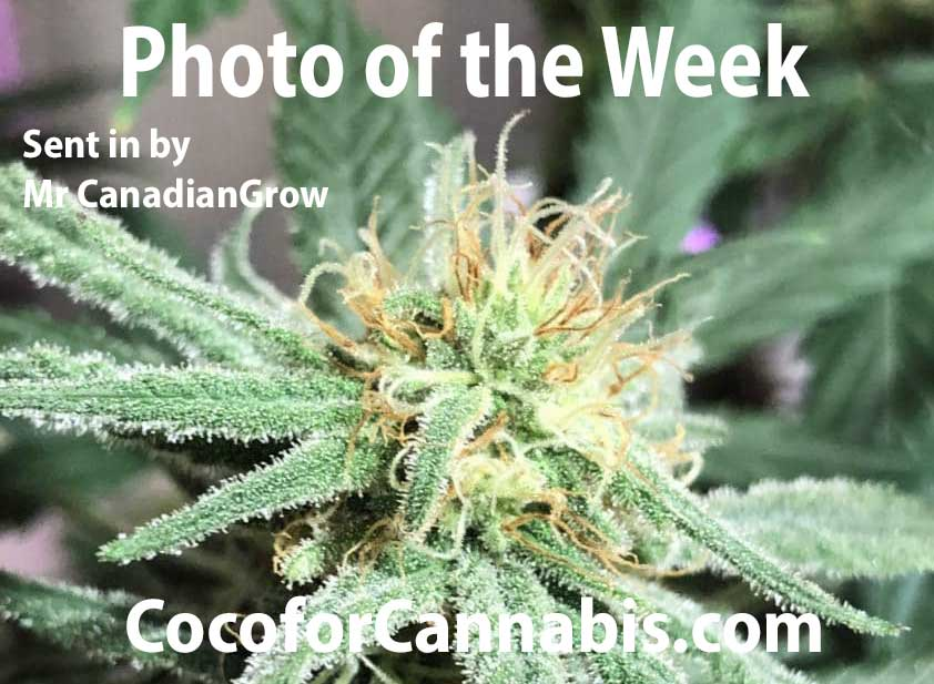 Frosty CBD Coco For Cannabis Photo of the Week