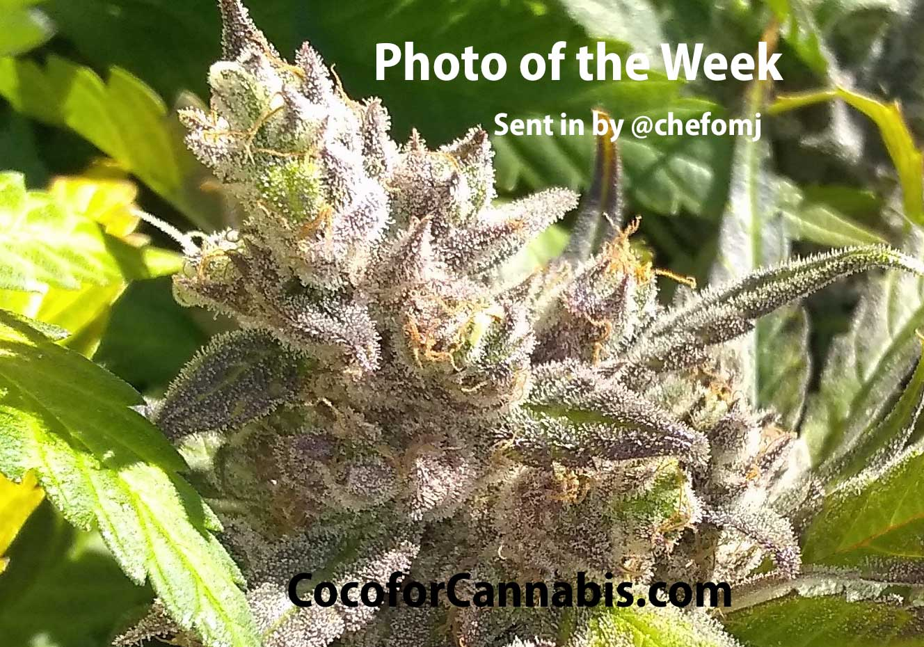 Coco for Cannabis Photo of the Week CBD